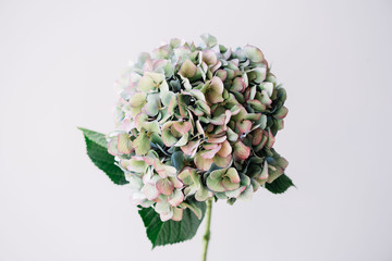 Printed kitchen splashbacks Hydrangea Beautiful blossoming single antique blue hydrangea flower on the grey wall background, close up view
