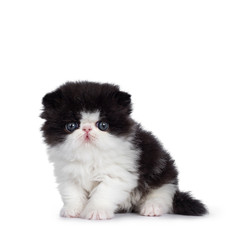 Cute few weeks old, very young black and white Persian cat ktten. Sitting facing front, looking at camera with round and still blue eyes. Isolated on white background.