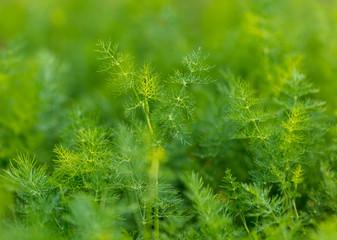 Fototapeta Green leaves on dill as a background obraz