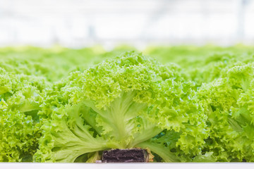 Young lettuce sprouts growing in a Dutch greenhouse