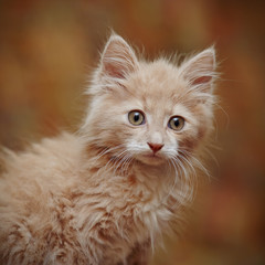 Portrait of a small red kitten
