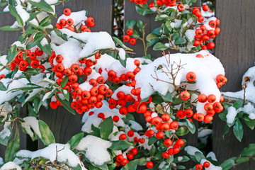 Pyracantha coccinea (Firethorn) under the snow