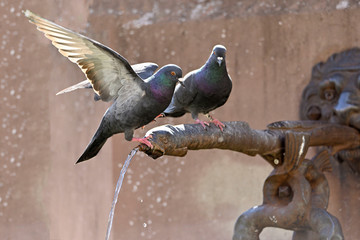 Pigeons sit on the water dispenser of a fountain and drink water. One is waiting until their turn.