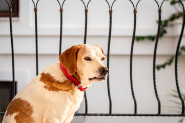 Portrait of a domestic dog sitting at the balcony