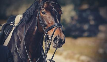 Portrait sports stallion in the bridle. Equestrian sport.