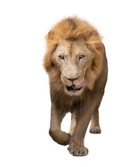 male lion walking isolated on white background