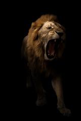 male lion walking in dark background