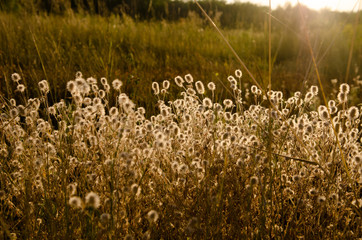 Photography of hare's-foot wildflower in summer field. Sunny warm evening sunshine. Backlight golden on thorn and ears. Serenity and relaxation midsummer - autumn beautiful atmosphere.