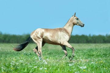 golden buckskin akhal-teke horse runs free outdoors