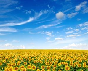 Fototapete - Sunflowers field on sky