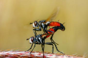 Housefly isolated on white background