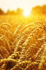 Wall Mural - Wheat field on sun.