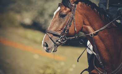 Portrait horse in the bridle. Equestrian sport.