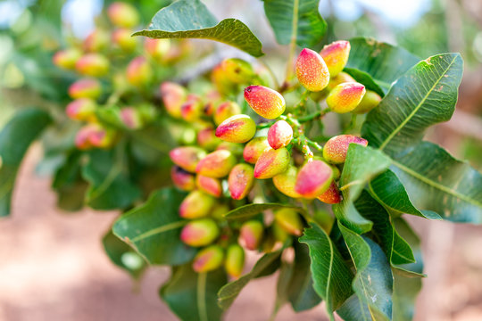 Macro closeup of cluster of pink red yellow pistachio tree nuts branch during sunny summer day Alamogordo town in New Mexico