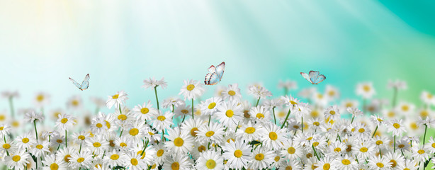 Chamomile flowers field with butterfly wide background in sun light. Summer Daisies. Beautiful nature scene, blooming medical chamomilles. Alternative medicine. Spring background Beautiful meadow Wall mural