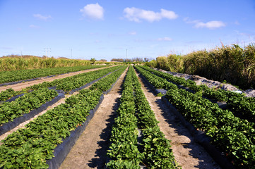 Strawberry Field in south Florida