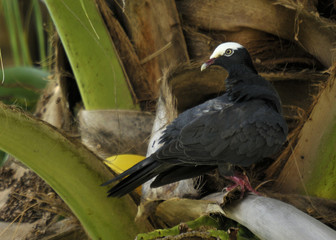 The White Crown Pigeon located at Pelican Bay in Freeport, Bahamas