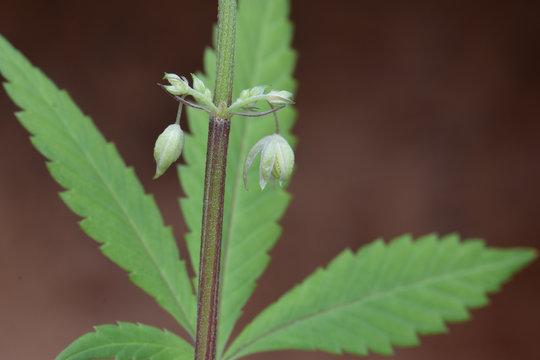 Male Cannabis Pollen 02