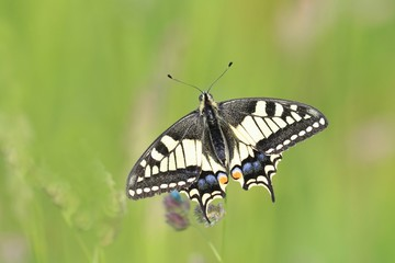Old World swallowtail (Papilio machaon) resting on a flower in a green meadow, a butterfly of the family Papilionidae. The butterfly is also known as the common yellow swallowtail  M