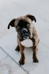 From above adorable boxer dog with amusing face sitting on asphalt and looking at camera