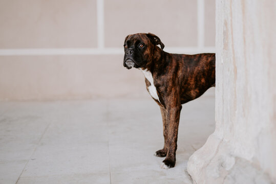 From above adorable boxer dog with amusing face standing on pavement and waiting for team