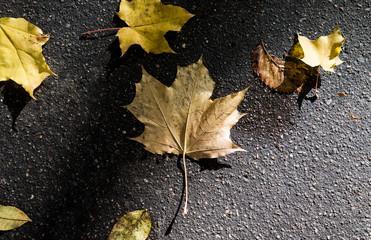 Yellow fallen leaves on wet asphalt