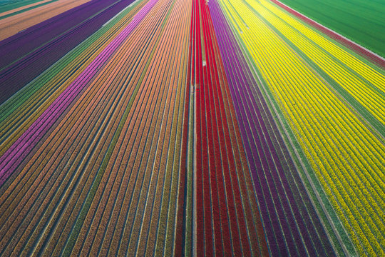 Aerial view of tulip fields