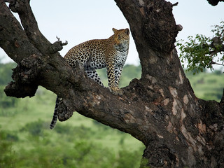 South Africa, Mpumalanga, Kruger National Park, Leopard standing on a tree