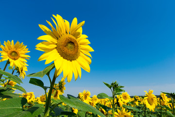 Sunflower field with cloudy blue sky Fototapete