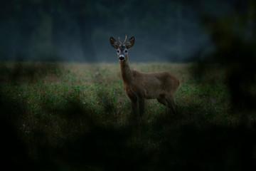 Young Roebuck, roe deer (Capreolus capreolus)