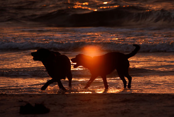 Dogs play at the beach during sunset at the Polish Baltic Sea coast near Choczewo