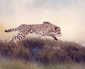 Cheetah Running  in the grassland