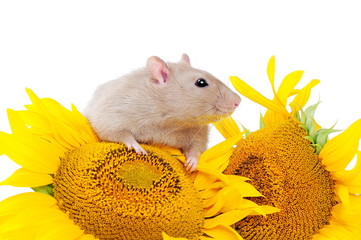 Pretty mouse with sunflowers pollen on the nose
