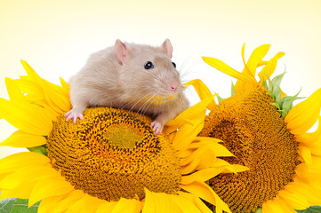 Little mouse sitting on the sunflower head closeup portrait