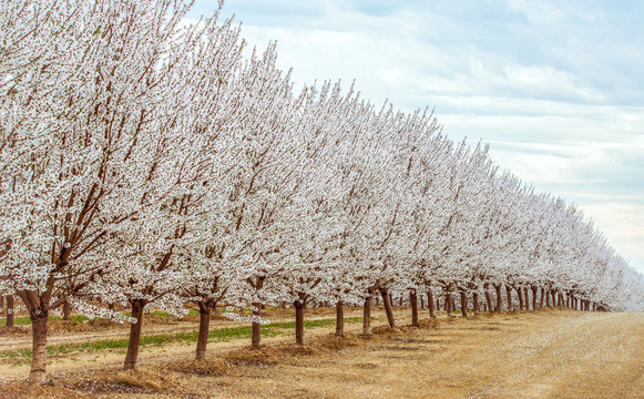 Northern California almond orchards in full bloom