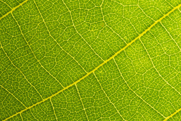 Green leaves background. Leaf texture. close up green leaf texture. Macro close-up of green leaf, Green leaf background texture.