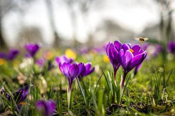 Close-up photo of various Dutch Crocus Vernus flowers in early spring