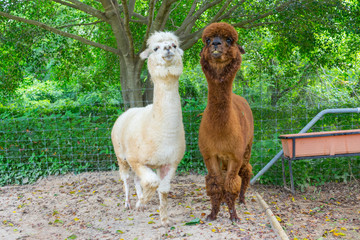 close up of two white and brown alpaca
