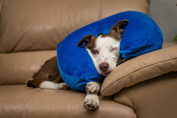 Cute Border Collie dog sleeping on a couch, wearing blue inflatable collar