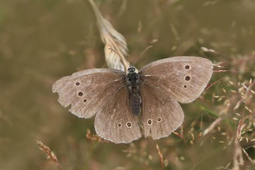 Butterfly ringlet (Aphantopus hyperantus) with open wings.