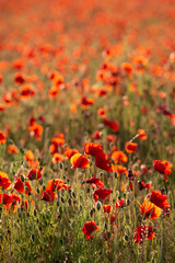 Poster Poppy Beautiful Summer landscape of vibrant poppy field in English countryside during late evening sunset
