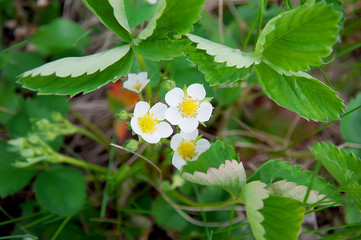 Natural wild strawberry flowers blooming in spring season. Selective focus