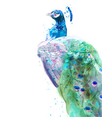 Peacock isolated Vector watercolor. Summer exotic birds decors