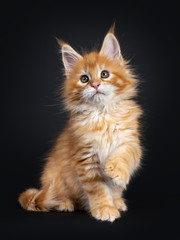 Gorgeous red Maine Coon cat kitten, sitting up side ways with one paw playful in air. Looking beside camera with greenish eyes. isolated on black background.