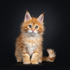 Gorgeous red Maine Coon cat kitten, sitting up facing front. Looking at camera with greenish eyes. isolated on black background.