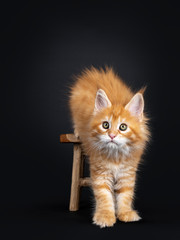Gorgeous red Maine Coon cat kitten, stepping of little wooden stool facing front. Looking at camera with greenish eyes. Isolated on black background.