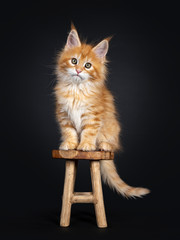 Gorgeous red Maine Coon cat kitten, sitting on little wooden stool facing front. Looking at camera with greenish eyes. Isolated on black background.