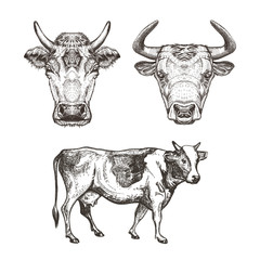 Set of images of cows. Cows and bull. Sketch graphics.