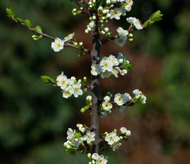 blossom twig on plum tree