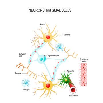 Neurons and glial cells (Neuroglia) in brain (oligodendrocyte, microglia, astrocytes and Schwann cells), ependymal cells (ependymocytes)